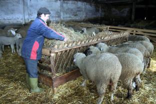 MADR: Pentru crescătorii de ovine – Termen prelungit la ajutorul de minimis