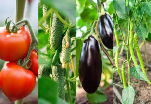 Buletin de avertizare fitosanitar - Tratamente pentru roşii, ardei, vinete şi castraveţi