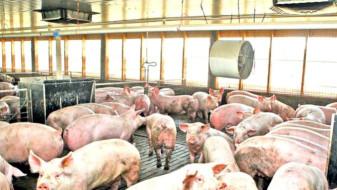 Pesta porcină africană - Opt focare noi în judeţul Bihor