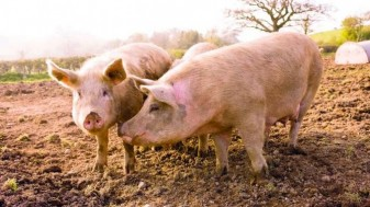 Pesta porcină africană - Trei focare noi în Bihor
