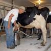 APIA: Sectorul zootehnic - Condiţii necesare pentru ANT - sectorul lapte (I)