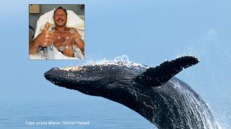 Un american care căuta homari - Înghițit de o balenă cu cocoașă