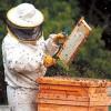 Programul National Apicol 2017-2019: Valoarea sprijinului financiar alocat pentru apicultori