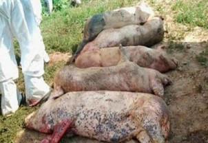 Pesta porcină africană - Focar nou în Valea lui Mihai