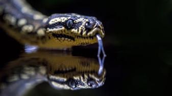 Două specii de şerpi din China ar putea fi sursa iniţială a coronavirusului - Şerpii, posibila sursă