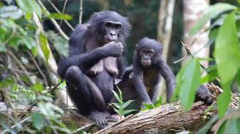 Un caz rar întâlnit în lumea primatelor - Au adoptat un pui din afara grupului