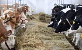 ANSVSA. Identificarea și înregistrarea bovinelor - În dezbatere publică, noi modificări