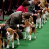 Competiția anuală Westminster Kennel Club Dog Show - 3.000 de câini în întreceri