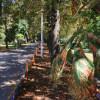 Arborii din oraş, afectaţi de căldură, dăunători şi birocraţie - Mor castanii Oradiei