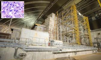 Ciupercile ce cresc pe reactorul de la Cernobîl şi absorb radiaţii - Scut împotriva radiațiilor solare