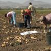APIA: Sprijin pentru fermierii din sectorul vegetal: Culturile pentru care se primesc subvenţii