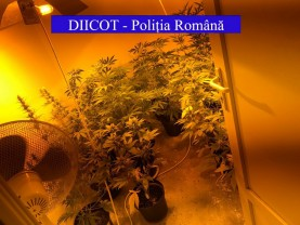 Reţinut pentru deţinere de droguri în vederea consumului - Cultură de cannabis, acasă la un bihorean