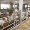 Sprijinul Cuplat Caprine - Campania 2018: Condiţii pentru accesarea fondurilor de către crescătorii de caprine