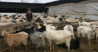 MADR. Pentru crescătorii de ovine/caprine - Ajutor de stat cu caracter temporar