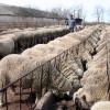A fost adoptată Legea zootehniei: Amenzi drastice pentru crescătorii de animale