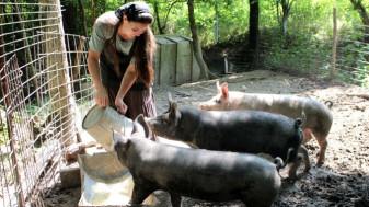 ANSVSA. Numai cu autorizație sanitar-veterinară - Creşterea porcilor în gospodării