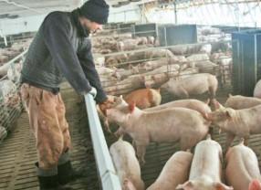 MADR. Creşterea porcilor în gospodăriile populaţiei - Noi reglementări