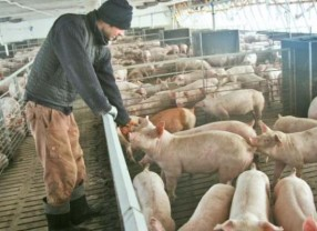 PNDR. Bunăstarea porcinelor - Depunerea cererilor – până la 15 februarie