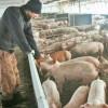 MADR: Termen limită - 5 decembrie la achiziționarea de animale de reproducție din rase pure