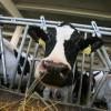 APIA: Au început plăţile pentru crescătorii de animale