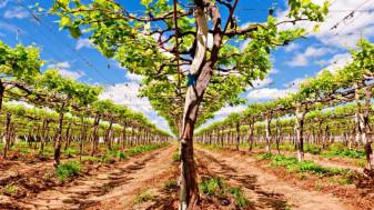 Buletin de avertizare fitosanitar - Tratamente la viţa de vie