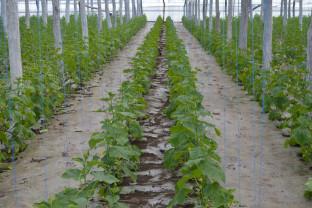 Buletin de avertizare fitosanitar - Tratamente pentru legume de câmp