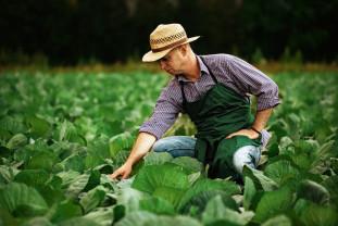 Buletin de avertizare fitosanitar - Tratamente pentru varză