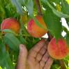 MADR: Pentru producătorii de fructe - Sprijin excepţional cu caracter temporar