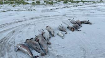 Ţările de Jos - Moarte misterioasă a circa 100 de marsuini