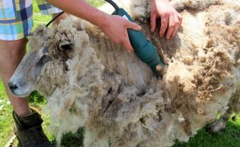 MADR. Pentru crescătorii de ovine - Plata subvenţiei pentru lână – de la finele lunii noiembrie