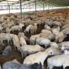MADR: Condiţii necesare pentru accesarea Sprijinului cuplat ovine 2018