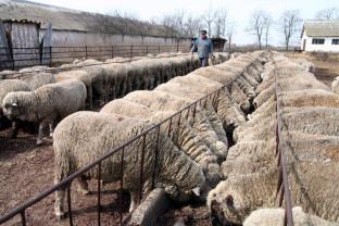 Sprijin cuplat ovine/caprine - Cuantumul acordat de APIA pe acest an