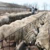 APIA. Plata subvenţiei - Obligaţiile crescătorilor de animale