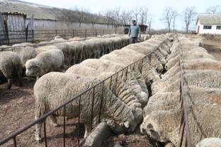 Subvenții APIA 2019 - Condiții pentru crescătorii de ovine