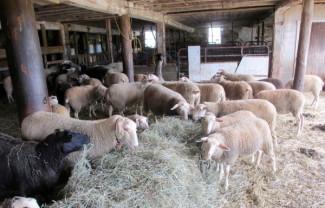 APIA. Creşterea ovinelor - Condiţii pentru acordarea Sprijinului cuplat