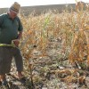 Fermierii ale căror culturi au fost afectate de arşiţă - Pot cere despăgubiri