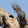 """Papagalii din Australia au o nouă pasiune - Își """"ascut"""" ciocurile pe internet"""