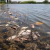 Zeci de pești morți și degradați plutesc pe lac - Parcul Salca I, o imagine dezolantă