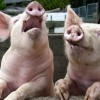 Un nou focar de pestă porcină, confirmat la Cherechiu