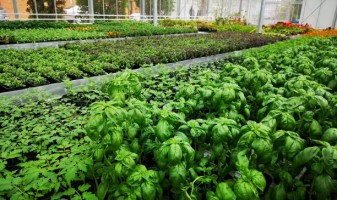 Sprijin pentru cultivatorii de plante aromatice - Termen limită - 30 iunie