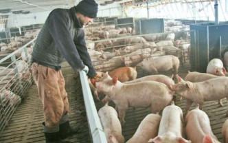 CJAPIA Bihor. Susținerea crescătorilor de porci - Primirea cererilor de solicitare a ajutorului de stat