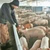 MADR: pentru crescătorii de porci, au fost aprobate ajutoarele de 10.000 euro