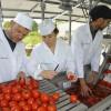 MADR:  Ajutorul special pentru producătorii de tomate