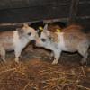 Susţinerea crescătorilor de porci din rasele Bazna şi/sau Mangaliţa – Au fost aprobate noi modificări legislative