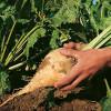 MADR: Reguli noi la producerea şi comercializarea sfeclei de zahăr
