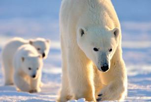 Studiu publicat în Nature Climate Change - Urșii polari se îndreaptă spre extincție