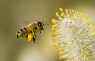 """Veninul de albine distruge celulele cancerului de sân - Un """"medicament"""" neaşteptat"""