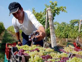 APIA. Sprijinul pentru viticultură - Termen limită la depunerea cererilor