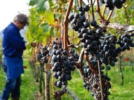 MADR. Sectorul vitivinicol - Ajutor de stat pentru producători