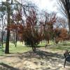 Transplantul arborilor de tisă a reuşit, pacienţii s-au uscat